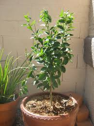 growing a bearss lime tree hubpages