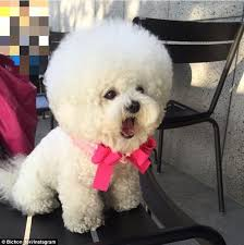 bichon frise 17 years old tori the bichon frise u0027s spherical hair style is making her an