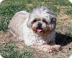 shih tzu with curly hair san angelo tx shih tzu meet shelby a dog for adoption
