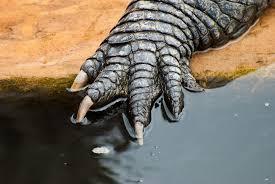 alligator claws gator paw johnathan nightingale flickr