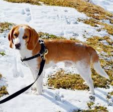 names for a bluetick coonhound pocket beagle dog breed information pictures characteristics