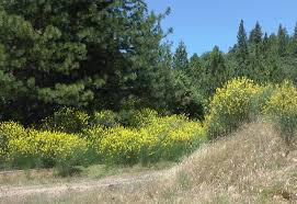 california native plants for sale beautiful but ecologically harmful shrubs get a foothold in