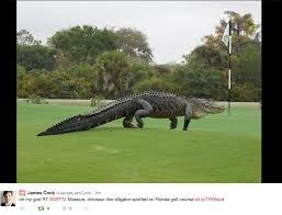 Gator Meme - giant gator spotted on florida golf course imgur