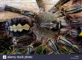 redslate ornamental tarantula poecilotheria rufilata top view