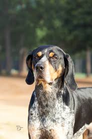 bluetick coonhound in tennessee best in show daily