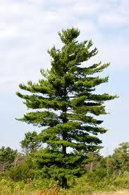white pine trees white pine