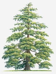best 25 cedar trees ideas on backyard privacy