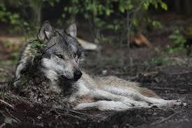 wolf spirit totem meaning