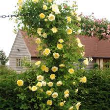 climbing roses david austin roses