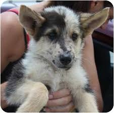 australian shepherd gray dingo german aussie mix adopted puppy largo fl german