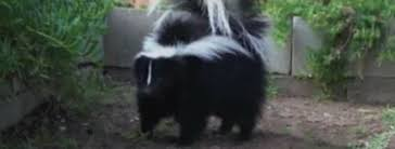 How Do You Get Rid Of Skunks In Your Backyard How Do You Know If You Have A Skunk Under Your Shed Or Porch