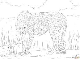 asiatic cheetah coloring page free printable coloring pages