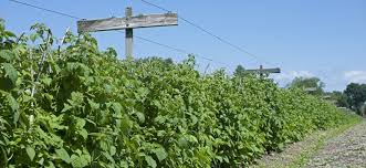 Rasberry Trellis Nourse Farms The Best Berry Plants Since 1932