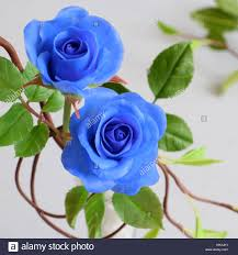 white and blue roses thank you background with grateful message two blue roses with