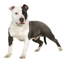 american pitbull terrier figurines american pit bull terrier dog breed information continental