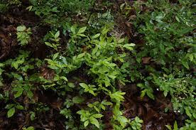 va native plant society ouachita huckleberries in the rain arkansas native plant society