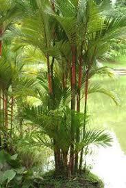 Tropical Gardening Ideas Lipstick Palm Great Gardening Ideas Pinterest Palm Asian