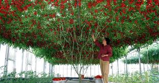 light requirements for growing tomatoes indoors how to grow an endless supply of fresh tomatoes indoors