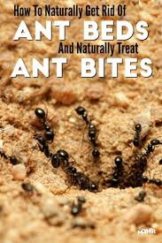 how to get rid of ant beds and treat ant bites naturally