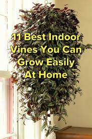 indoor vine plant 11 best indoor vines and climbers you can grow easily in your home