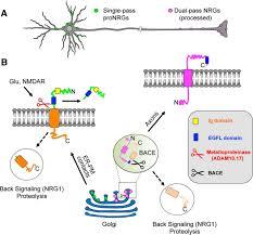 structural similarities between neuregulin 1 u20133 isoforms determine