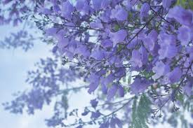 tree with purple flowers jacaranda tree purple flowers san diego california
