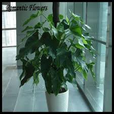 indoor vine seed picture more detailed picture about 100 genuine rare