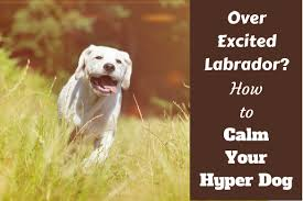 hyperactive dogs how to calm down a dog even a large over excited playful labrador