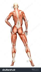 Images Female Anatomy Human Anatomy Diagram Female Anatomy Of The Abdomen Female Human