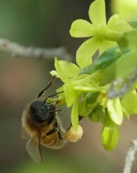 bees of the haven u2013 uc davis häagen dazs honey bee haven