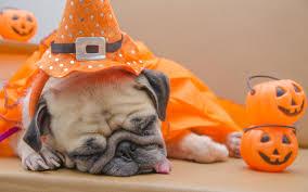 pug dogs sleep pumpkin halloween animals 2560x1600