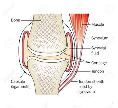 Tendon Synovial Sheath Synovial Joint Royalty Free Cliparts Vectors And Stock