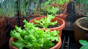 how to grow your own organic hydroponic lettuce indoors diy youtube
