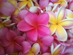 Pretty Types Of Flowers - 132 best plumeria flowers images on pinterest plumeria flowers