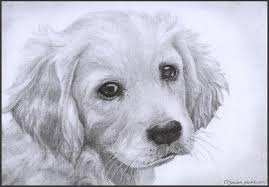 drawn puppy golden retriever puppy pencil and in color drawn