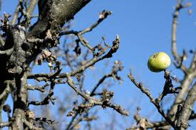 Blackmoor Fruit Trees - fruit sharon hockenhull