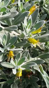 australian native ground cover plants australian native plant nursery u2014 australian outback plants
