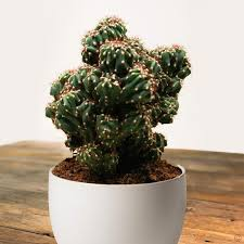 cactus cereus peruvianus monstrosus 1 plant buy order now