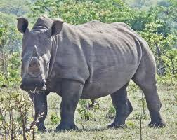 oregon the traveler images White rhino head on victoria falls rhino walk oregon budget jpg