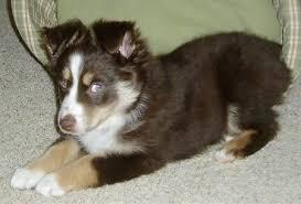 8 week old mini australian shepherd miniature australian shepherd dog breed pictures 1