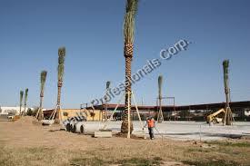wholesale medjool date palms houston medjool date palm