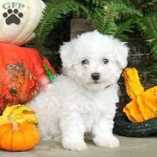bichon frise kentucky bichon frise puppies for sale greenfield puppies
