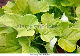 ornamental sweet potato vine stock photos ornamental sweet
