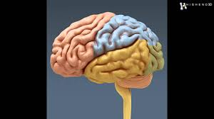 Nervous System Human Anatomy Human Brain And Nervous System Anatomy 3d Model From