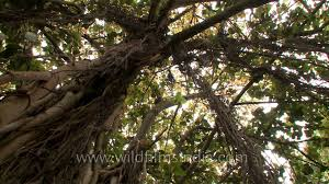 Cool Tree by The Cool Shade Of A Large Banyan Tree On A Summer Day Youtube