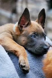 belgian sheepdog rescue groups belgian malinois puppy pet pics i like group board