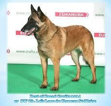 crufts australian shepherd 2014 90 best chien de berger belges belgian shepherd dog images on