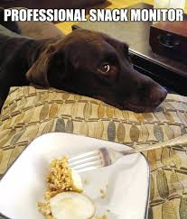 Black Lab Meme - chuckie the chocolate lab pup love pinterest labs chocolate