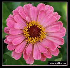 Zinnia Flowers Best 25 Zinnia Flower Pictures Ideas On Pinterest Dahlia Flower