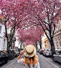 cherry blossom pics vivid cherry blossom avenue in bonn germany places to see in